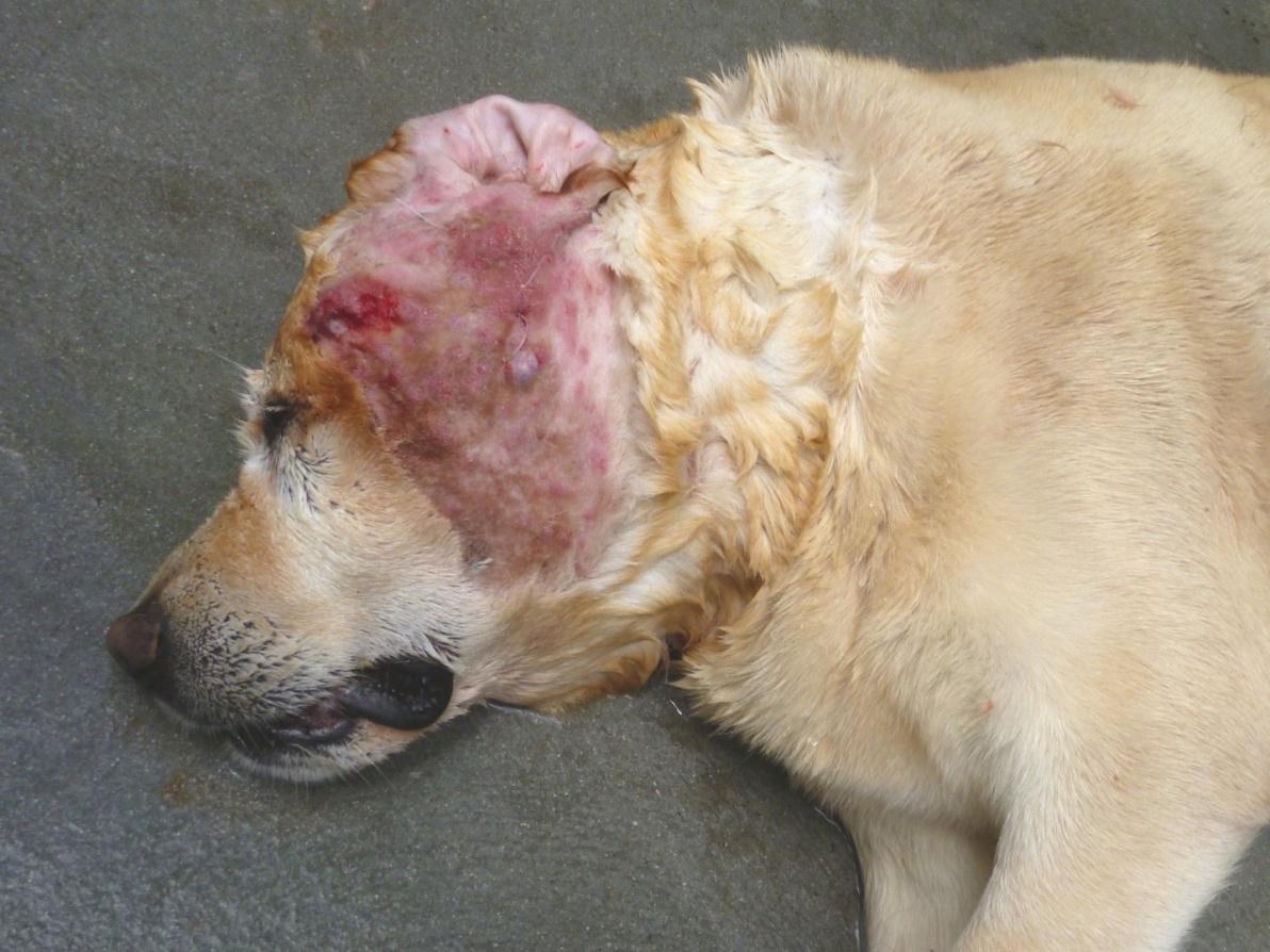 Mild Dog Ear Infection