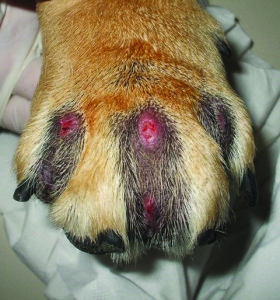 canine-interdigital-cyst-syndrome-fig2
