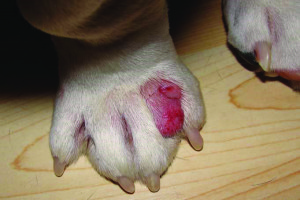 canine-interdigital-cyst-syndrome-fig3
