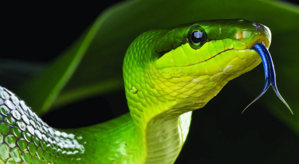 Big snakes python
