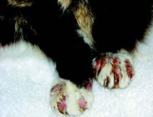 cat-paw-itc