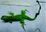 green-lizzard