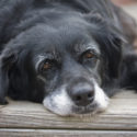 CPD: Cognitive Dysfunction in Geriatric Dogs and Cats