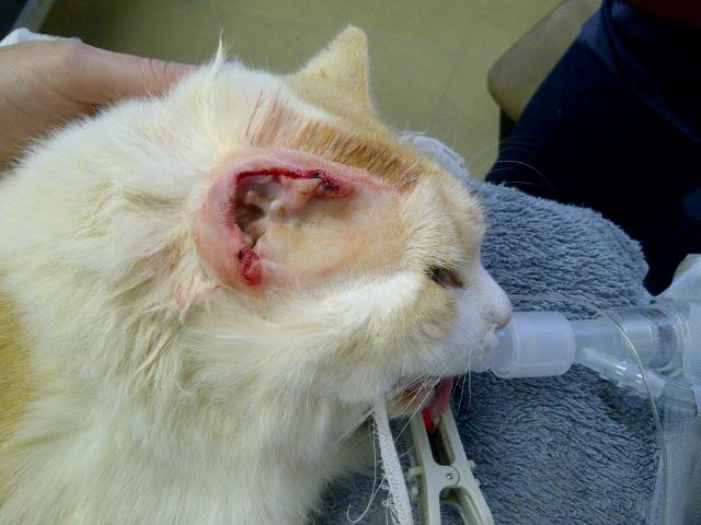 Squamous Cell Carcinoma In Dogs And Cats Vet360