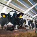 Common Production Diseases PART 01: Causes and Effects on High  Producing Dairy Cows