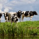 The costly effects of low blood calcium levels (hypocalcaemia) in freshly calved dairy cows