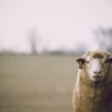 CPD: Wirevax: Vaccination against Haemonchus contortus in sheep